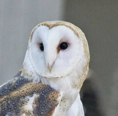 Photograph - Barn Owl 2 by Charles HALL