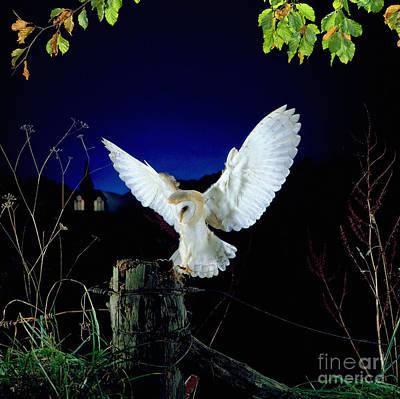 Photograph - Barn Owl Alighting On Fencepost by Warren Photographic