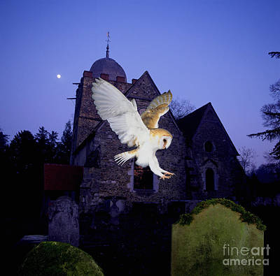 Photograph - Barn Owl Alighting On Gravestone by Warren Photographic