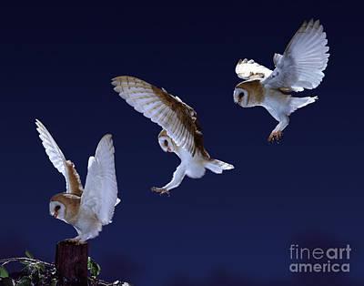 Photograph - Barn Owl Alighting Triple Image by Warren Photographic