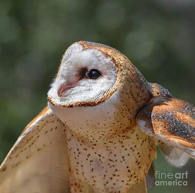 Photograph - Barn Owl by Amy Porter