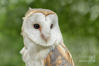Photograph - Barn Owl by Angie Rea