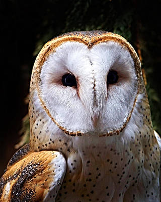 Photograph - Barn Owl by Anthony Jones