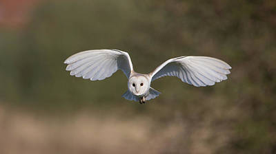 Barn Owl Approaching Art Print