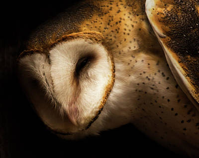 Photograph - Barn Owl by Bob Cournoyer