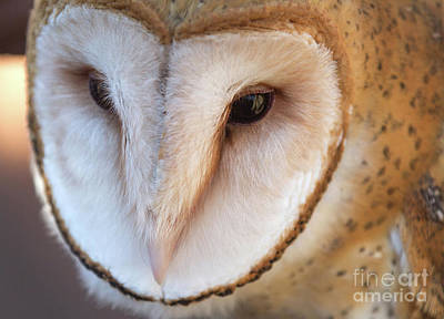 Photograph - Barn Owl by Chris Scroggins