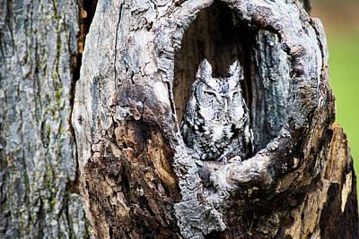 Photograph - Screech Owl by Douglas Milligan