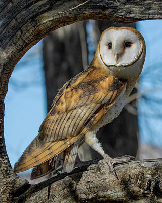 Photograph - Barn Owl Framed In Cottonwood by Dawn Key