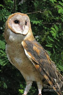Photograph - Barn Owl by Frank Townsley