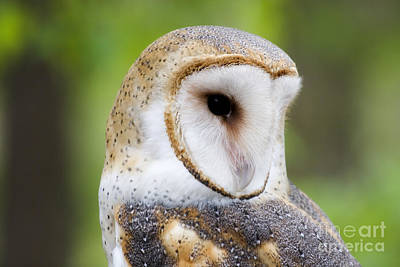 Owls Photograph - Barn Owl Head Shot by Jill Lang