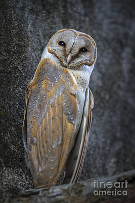 Photograph - Barn Owl by Hitendra SINKAR