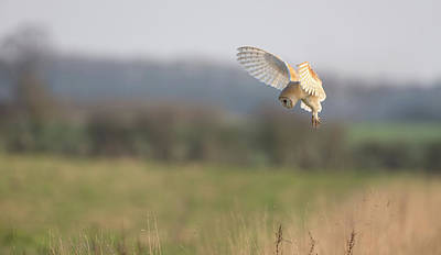 Photograph - Barn Owl Hovering by Peter Walkden