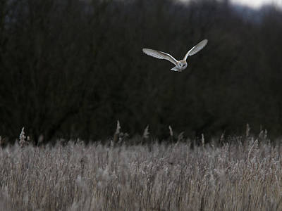Photograph - Barn Owl Hunting At Dusk by Tony Mills