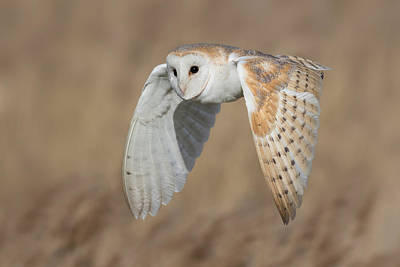Barn Owl In Flight Art Print by Ian Hufton