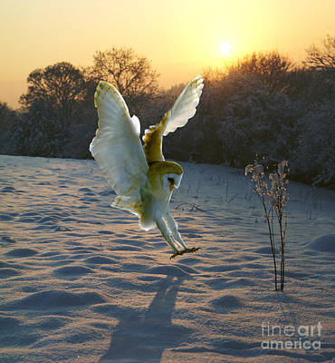 Photograph - Barn Owl In Snowy Sunset by Warren Photographic