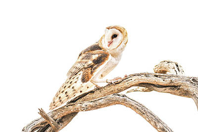 Photograph - Barn Owl In The Desert by Tom and Pat Cory
