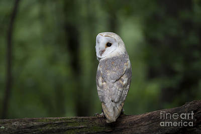 Photograph - Barn Owl In The Woods 2 by Andrea Silies