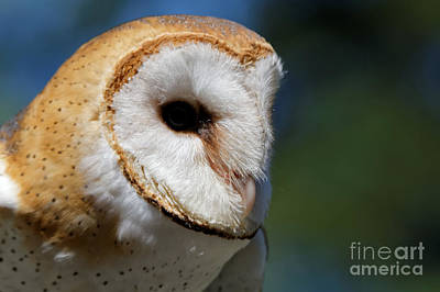 Photograph - Barn Owl - Intensity by Sue Harper