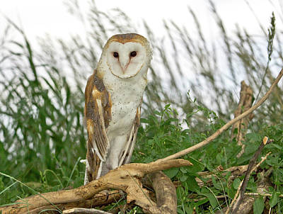 Photograph - Barn Owl by James Steele