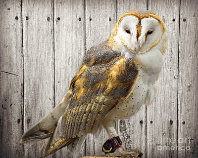 Photograph - Barn Owl by Kathy M Krause