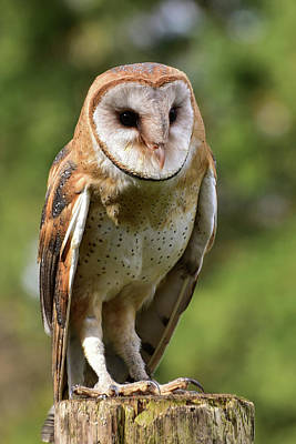 Photograph - Barn Owl by Keith Boone