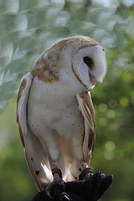 Barn Owl Art Print by Keith Lovejoy