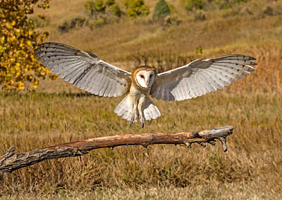 Photograph - Barn Owl Landing by Dawn Key
