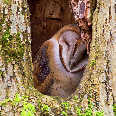 Photograph - Barn Owl Napping by Craig Strand