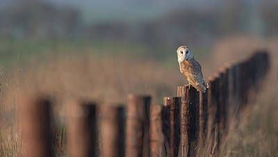 Photograph - Barn Owl On Fence Line by Peter Walkden
