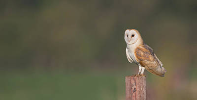 Photograph - Barn Owl On Post by Peter Walkden
