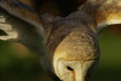 Photograph - Barn Owl Open Wings by Jean-Pierre Heijmann