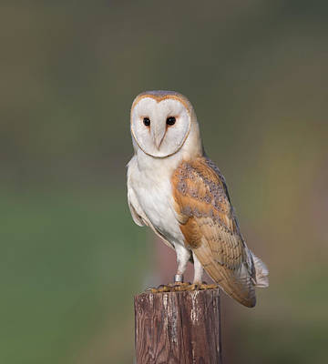 Photograph - Barn Owl Perched by Peter Walkden