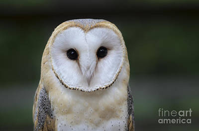 Photograph - Barn Owl Portrait by Andrea Silies