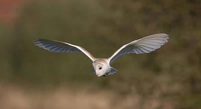 Barn Owl Quartering Art Print
