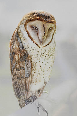 Photograph - Barn Owl by Robert Mitchell