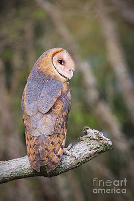 Photograph - Barn Owl by Sharon McConnell