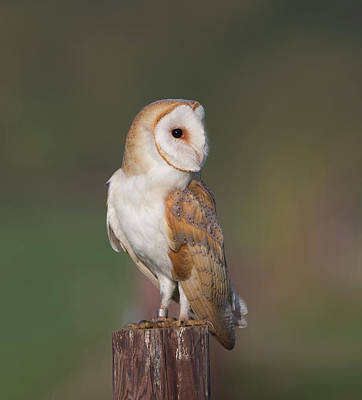 Photograph - Barn Owl Side On by Peter Walkden