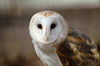 Photograph - Barn Owl by Steve Stuller