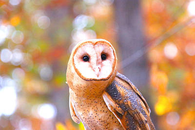 Photograph - Barn Owl by Tony Umana