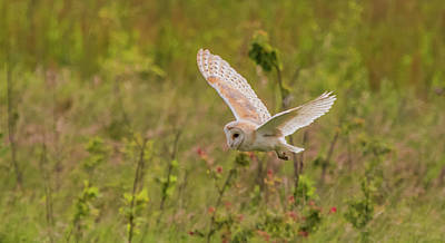 Photograph - Barn Owl by Wendy Cooper