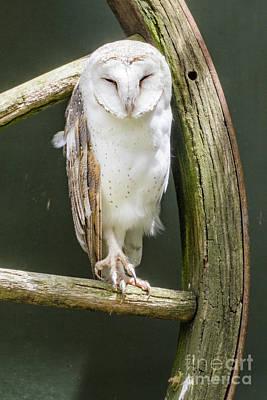 Photograph - Barn Owl by Werner Padarin