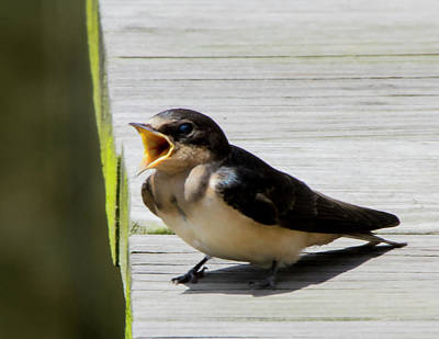 Photograph - Barn Swallow 2017 1 by Buddy Scott