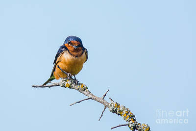 Photograph - Barn Swallow by Cheryl Baxter