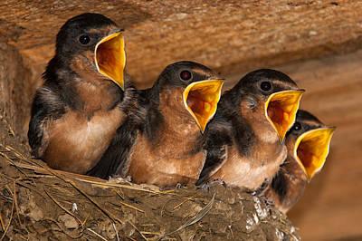 Animal Paintings David Stribbling - Barn Swallow Chicks by Jeff Phillippi