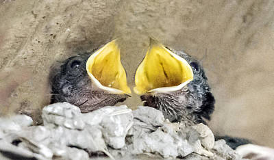 Photograph - Barn Swallow Chicks by William Bitman