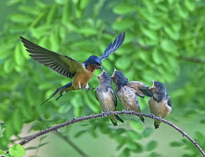 Photograph - Barn Swallow Feeding by William Jobes