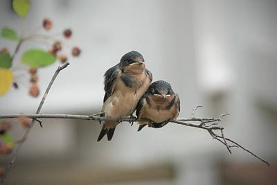 Photograph - Barn Swallow Fledglings by Jack Nevitt