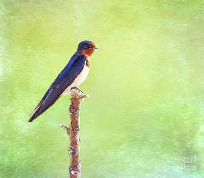 Digital Art - Barn Swallow, Hirundo Rustica by Liz Leyden