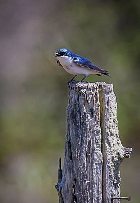 Photograph - Tree Swallow by Jim Gillen