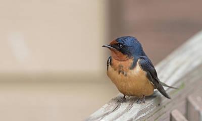 Photograph - Barn Swallow by Jim Zablotny